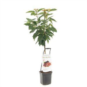 cerisier basse tige (été)