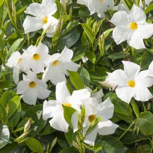 Dipladenia 'Rio' blanc / Les Jardins Sologne / Les Jardins Sologne